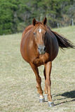 Pregnant Mare Horse. Pregnant sorrel quarter horse walking in field stock photo