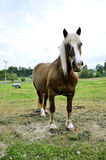 Pregnant mare Stock Photography