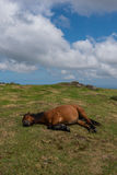 Pregnant mare sleeping on grass in the mountain with blue cloudy Royalty Free Stock Photos