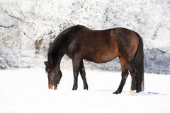Pregnant mare in snow Royalty Free Stock Photos