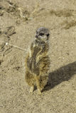 Pregnant meerkat standing on tiptoes Royalty Free Stock Photos