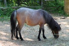 Pregnant Miniature horse Stock Image