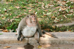 Pregnant monkey Stock Image