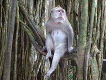 Pregnant monkey is waiting Stock Photo