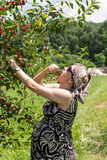 Pregnant mother picking cherries Royalty Free Stock Photo