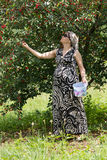 Pregnant mother picking cherries. At cherry farm royalty free stock photos