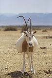 Pregnant Oryx in the desert Royalty Free Stock Images
