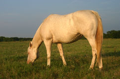 Pregnant Perlino Mare. Pregnant quarter horse mare, perlino (diluted gene), sunburned around eyes and muzzle, grazing in pasture, late afternoon, summer Royalty Free Stock Image