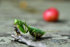 Pregnant praying mantis stock photos
