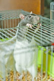 Pregnant rat. The pregnant rat costs on hinder legs and looks out of a cage stock image