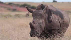 Pregnant rhino watches from a grassy plain stock video