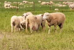 Pregnant Sheep Royalty Free Stock Image