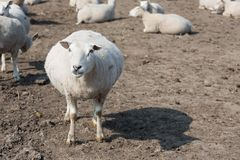 Pregnant sheep in Dutch countryside Royalty Free Stock Image