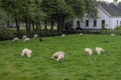 Pregnant Sheep In Front Of A Old Farmhouse At Duivendrecht The Netherlands 2018 royalty free stock image
