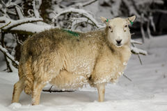 Pregnant sheep in the snow. A pregnant sheep stands in deep snow on a winters day Stock Photography