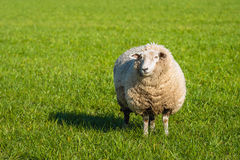 Pregnant sheep in thick winter coat standing in the fresh green stock image