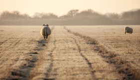 Pregnant sheep walking the track Stock Images