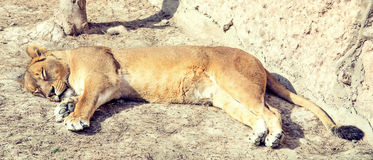 Pregnant sleeping lioness Royalty Free Stock Image