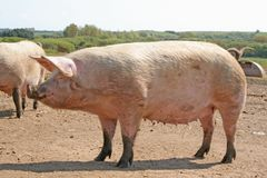 A pregnant sow Stock Photography