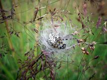 Pregnant spider Stock Photo
