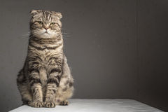 Pregnant thick gray striped scottish fold cat sitting on a table. Covered with a white cloth and looking at the camera Royalty Free Stock Photo
