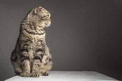 Pregnant thick gray striped scottish fold cat sitting on a table Royalty Free Stock Photography