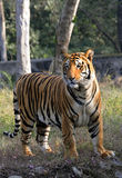 Pregnant tigress Stock Image