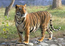 Pregnant tigress Stock Photos