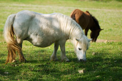 Pregnant white pony eating. Two poneis eating grass in sunny day. The white one is pregnant Stock Image