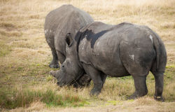 Pregnant White Rhino comforts her mate Stock Photography