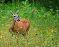 Pregnant whitetail deer. A pregnant whitetail deer doe standing in a wilderness meadow eating wildflowers stock images