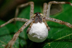 Pregnant Wolf Spider Stock Photos