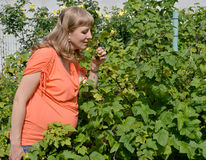 The pregnant woman eats black currant from a bush Stock Photography