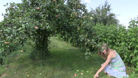 Pregnant woman gather ripe apple fruits in garden stock video
