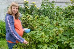 The pregnant woman gathers black currant in a garden Royalty Free Stock Images