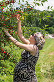 Pregnant woman picking cherries Stock Image