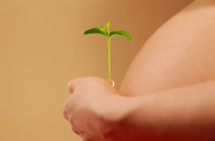 Pregnant woman with young plant. Pregnant woman belly and hand with young plant in warm light Royalty Free Stock Image