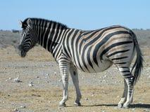 Pregnant Zebra. Pregnant Burchell's Zebra, Etosha National Park, Namibia Stock Photography