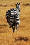 Pregnant Zebra Bums. Three pregnant zebras viewed from behind in the Ngorongoro crater in Tanzania stock image