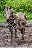 Pregnant zebra Royalty Free Stock Images