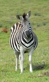 Pregnant Zebra with funny face Royalty Free Stock Image