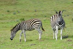 Grazing foal with pregnant Zebra Royalty Free Stock Image