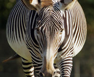 Pregnant zebra Stock Photos
