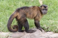 Prego猴子 免版税库存图片