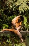 Prego do macaco Fotografia de Stock