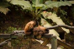 Prego do macaco Imagens de Stock