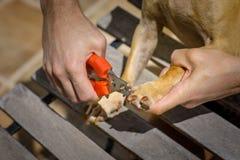 Pregos do cão do corte com tosquiadeira fotos de stock