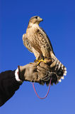 Pregrine Falcon cross on gloved hand Royalty Free Stock Images