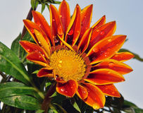 pregtty杂色菊属植物 库存照片