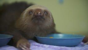Preguiça do bebê após a alimentação, santuário de Costa Rica video estoque